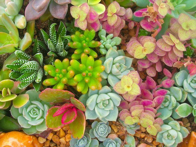 piante grasse colorate