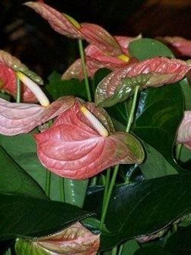 Anthurium fiori