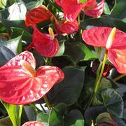 pianta anthurium