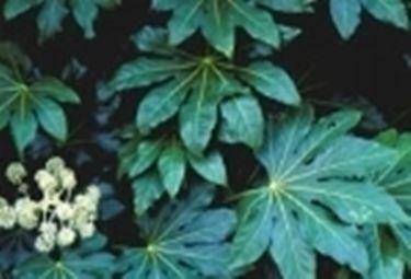 foglie di aralia