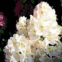 Azalea che perde foglie domande e risposte piante - Azalea foglie ...