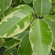 Ficus a foglie variegate