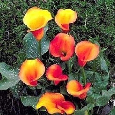 Calla gialla domande e risposte piante appartamento for Calle colorate non fioriscono