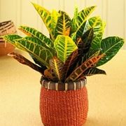 croton pianta
