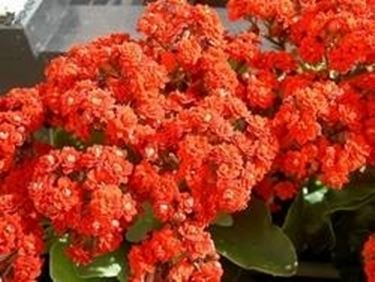 Kalanchoe in fiore