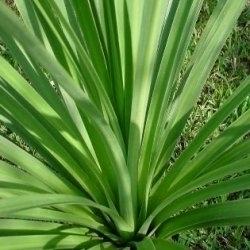 Dracena con foglie secche domande e risposte piante for Orchidea foglie gialle