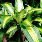 dracena foglie gialle