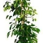 Emergenza ficus domande e risposte piante appartamento for Ficus benjamin perde foglie