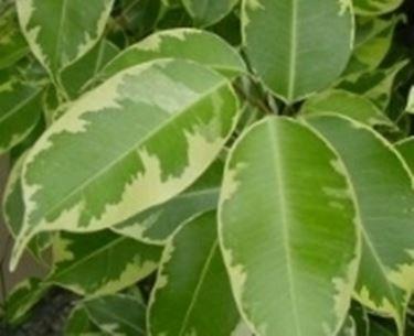 ficus con foglie variegate