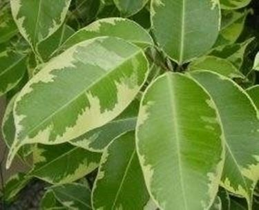 Ficus foglie