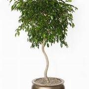 Domande e risposte piante appartamento sulle foglie for Ficus benjamin perde foglie