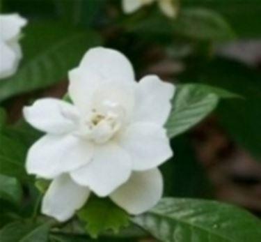 Gardenia fiore