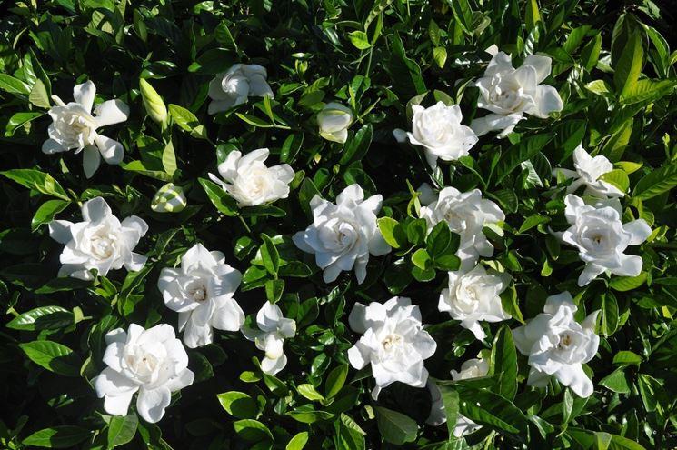 Fiori Gialli Gardenia.Gardenia Sofferente Domande E Risposte Piante Appartamento