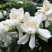 gardenia bianca