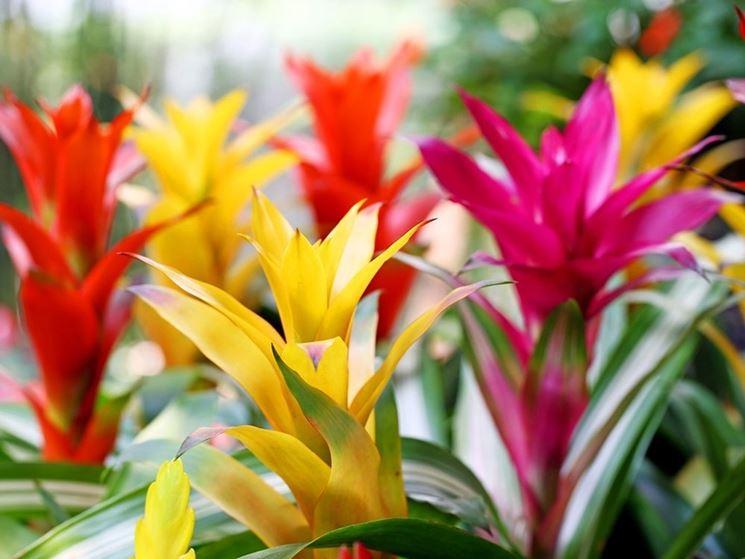 fiori guzmania