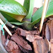 orchidea foglie gialle e molli