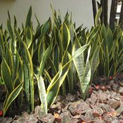 pianta sansevieria