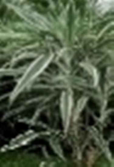 dracena a foglie striate
