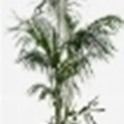 kenzia pianta