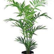 pianta kenzia