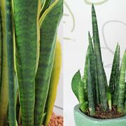 sanseveria pianta