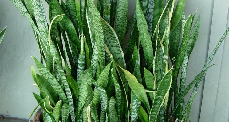 Sanseveria sofferente domande e risposte piante appartamento - Piante da interno resistenti ...