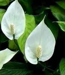 Spatifillo mai fiorita domande e risposte piante for Spatifillo pianta