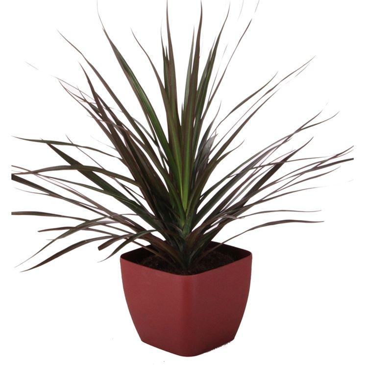 vaso di dracena