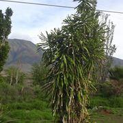 tronchetto della felicità pianta