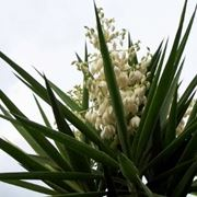 yucca pianta