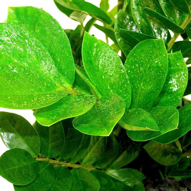 foglie zamioculcas