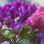 Zamioculcas con foglie gialle domande e risposte piante for Orchidea foglie gialle