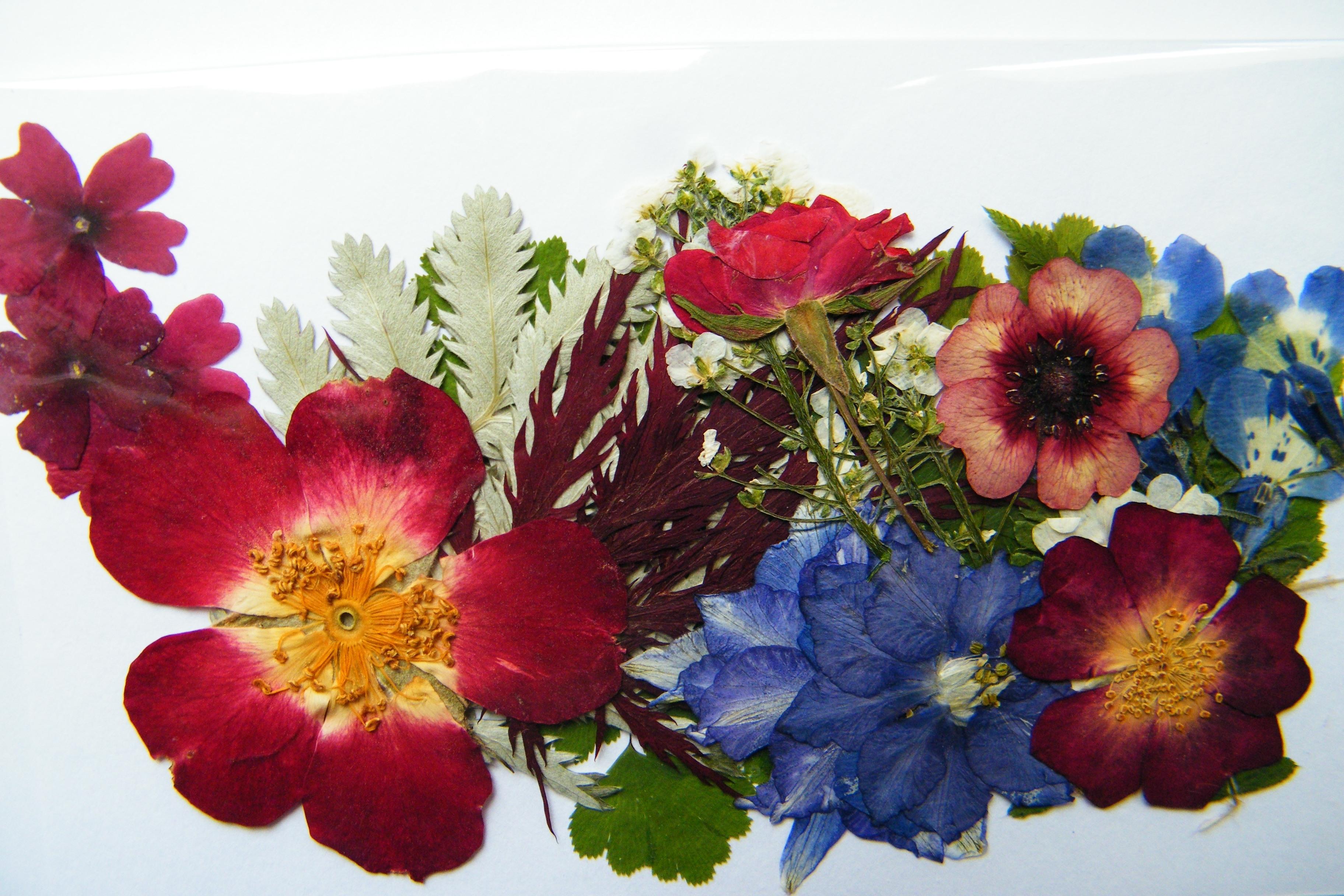 Come Seccare Le Piante fiori secchi pressati - fiori secchi - come usare i fiori