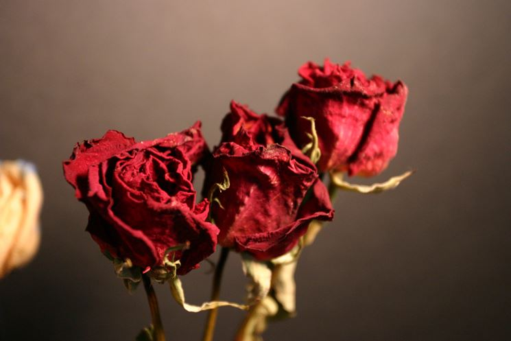 rosa secca