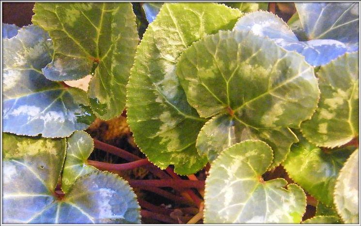 foglie gialle ciclamini