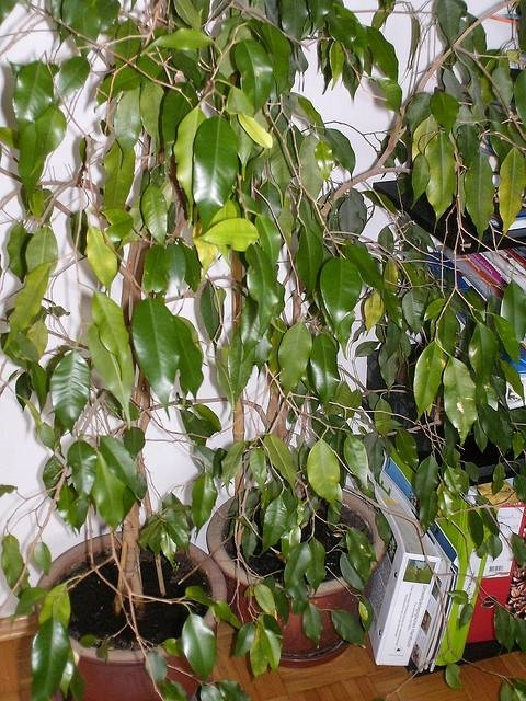 Ficus Benjamin Sofferente