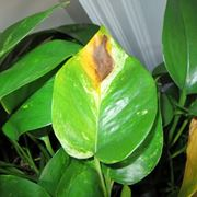 zamioculcas pianta