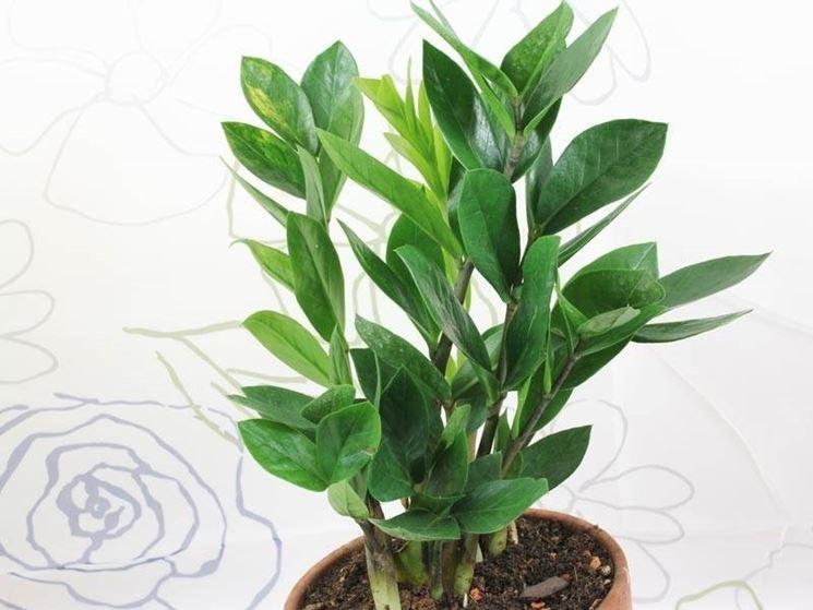zamioculcas foglie sane