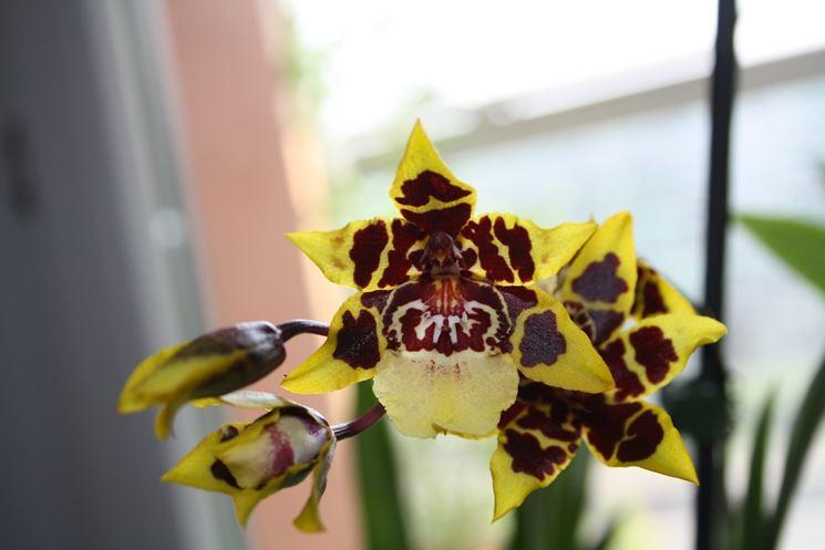 Fiore di orchidea cambria