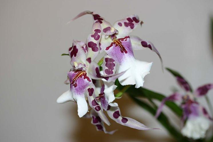 Cambria bianca e viola