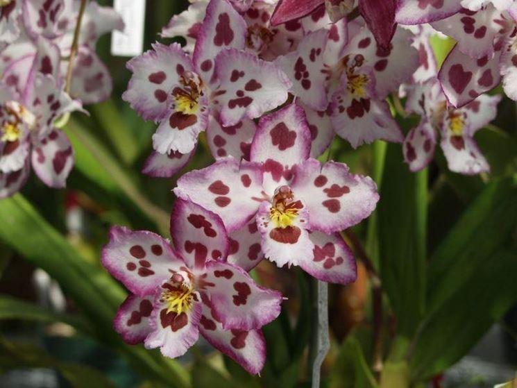 Coltivare orchidee orchidee for Orchidea acqua