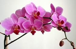 Orchidee come farle rifiorire