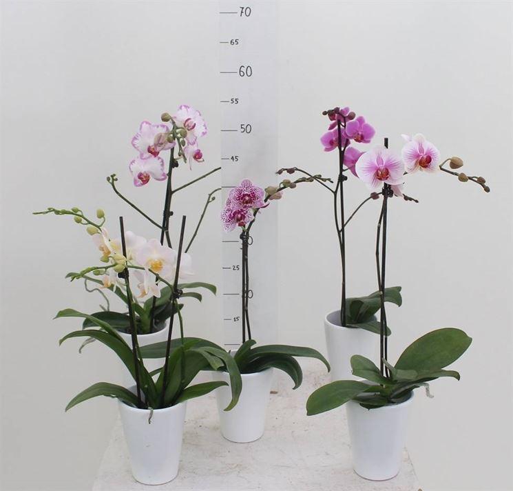 Piante di orchidee