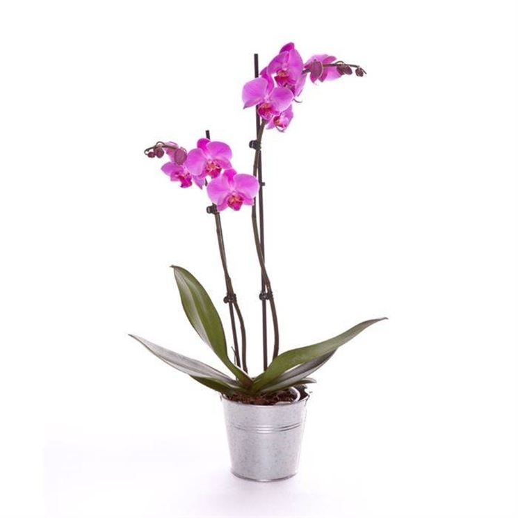 Come coltivare le orchidee - Piante appartamento ...