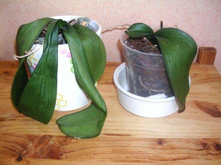 orchidee con foglie disidratate