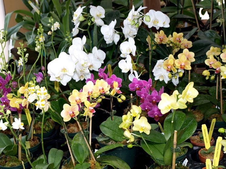 coltivare orchidee
