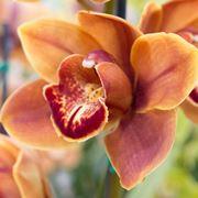 Orchidea Catteya durante la fioritura