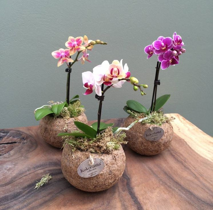 Phalaenopsis cura - Orchidee - Come curare la Phalaenopsis
