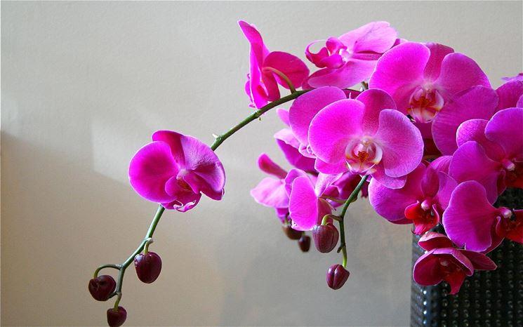 Marciume radicale Orchidea