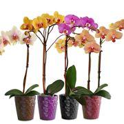 come curare un orchidea